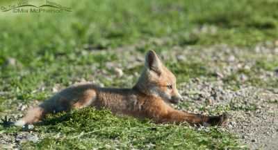 Red Fox kit stretching