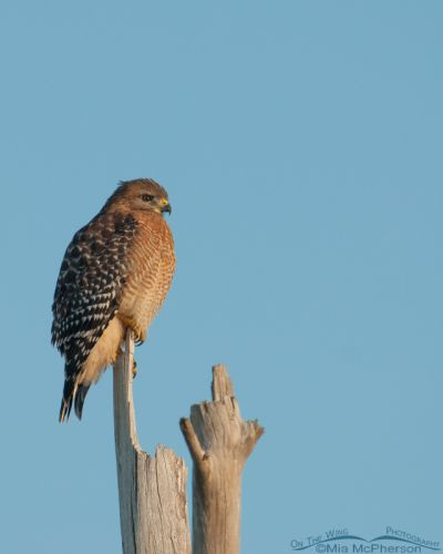 Perched Red-shouldered Hawk