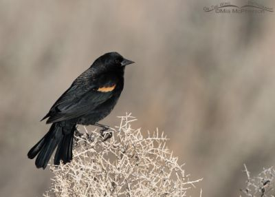 Male Red-winged Blackbird on a February day