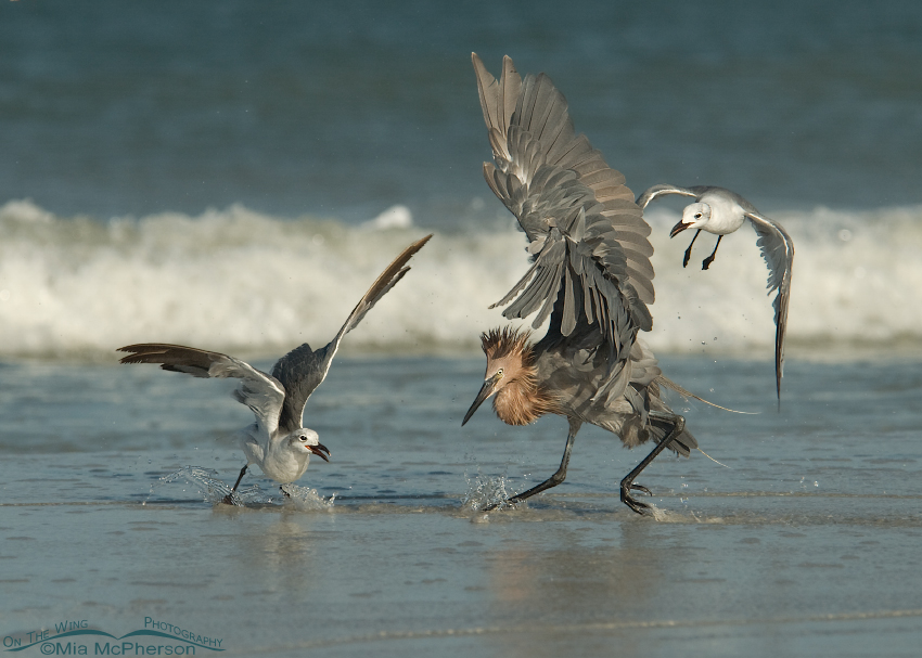 Reddish Egret and Laughing Gulls