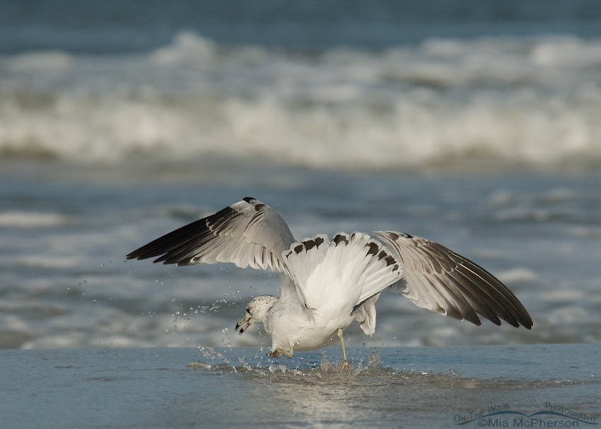 Ring-billed Gull chasing baitfish