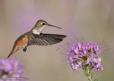 Hovering Rufous Hummingbird