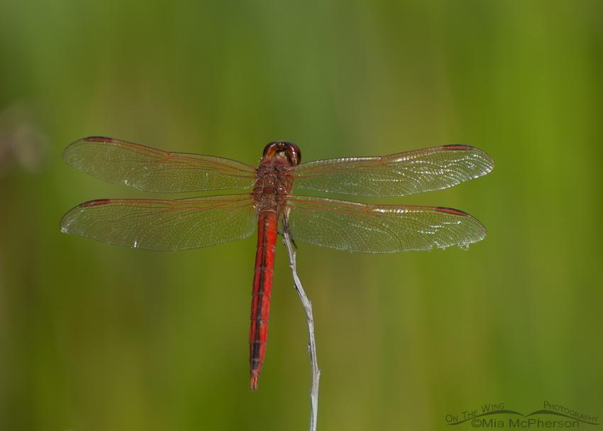 Scarlet Skimmer male