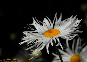 Shasta Daisy, Christchurch, New Zealand