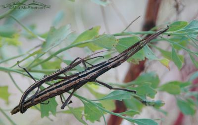 Southern Two-Striped Walkingsticks mating