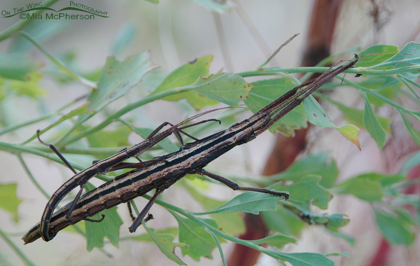 Southern Two-Striped Walkingstick Images