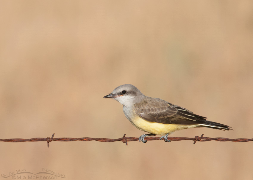 Crouching juvenile Western Kingbird