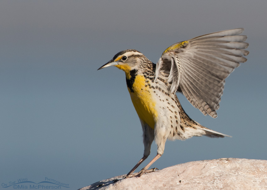 Landing Western Meadowlark