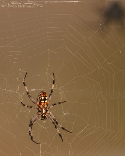 Western Spotted Orbweaver on the causeway to Antelope Island