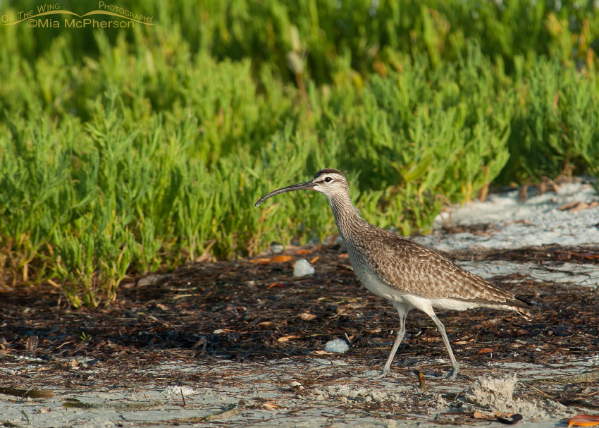 Whimbrel in winter habitat
