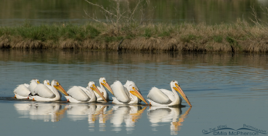 Flock of American White Pelicans, Farmington Bay WMA, Davis County, Utah
