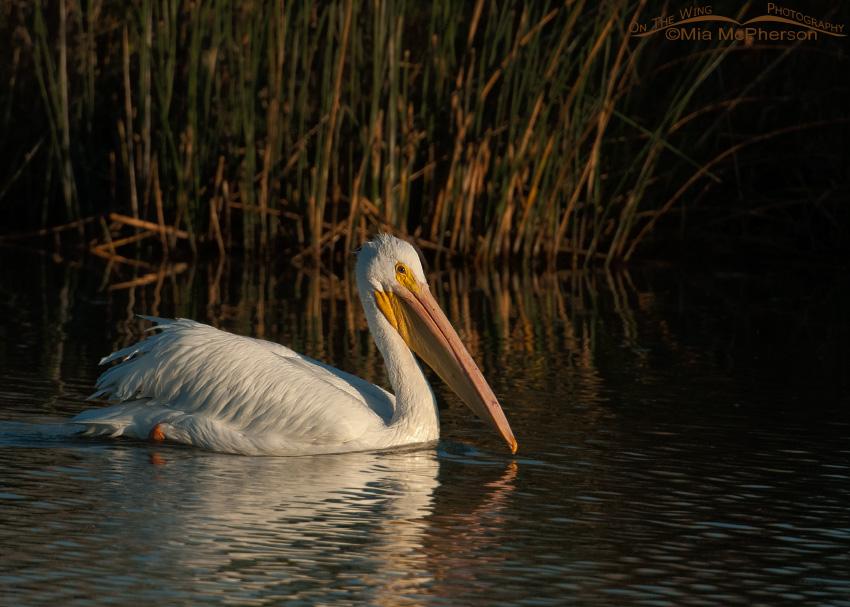 American White Pelican against a dark background