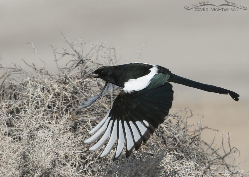 Black-billed Magpie taking off