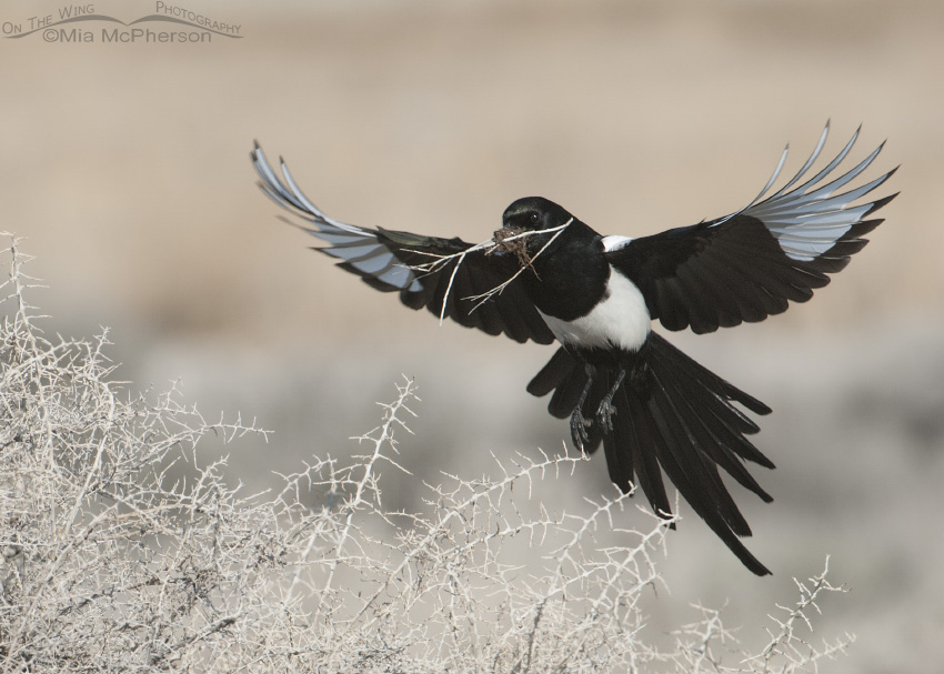 Black-billed Magpie with wings spread