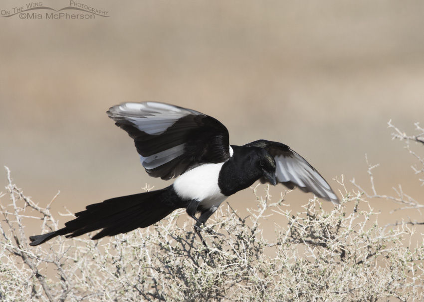 Partially Leucistic Black-billed Magpie
