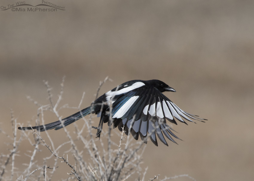 Partially Leucistic Black-billed Magpie in flight