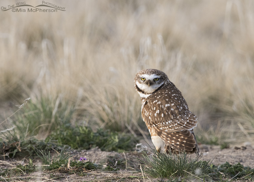 Grumpy looking Burrowing Owl