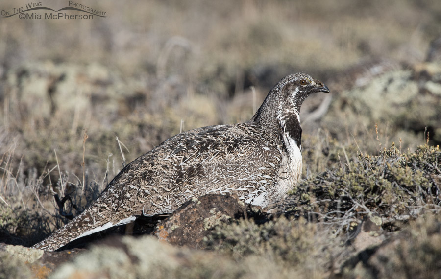Male Greater Sage-Grouse in evening light on March 28, 2015