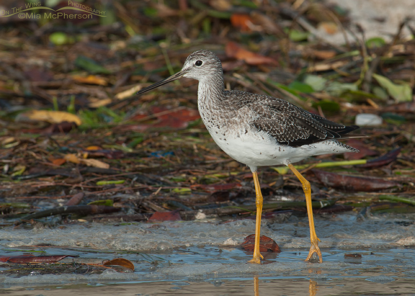 Greater Yellowlegs at the wrack line