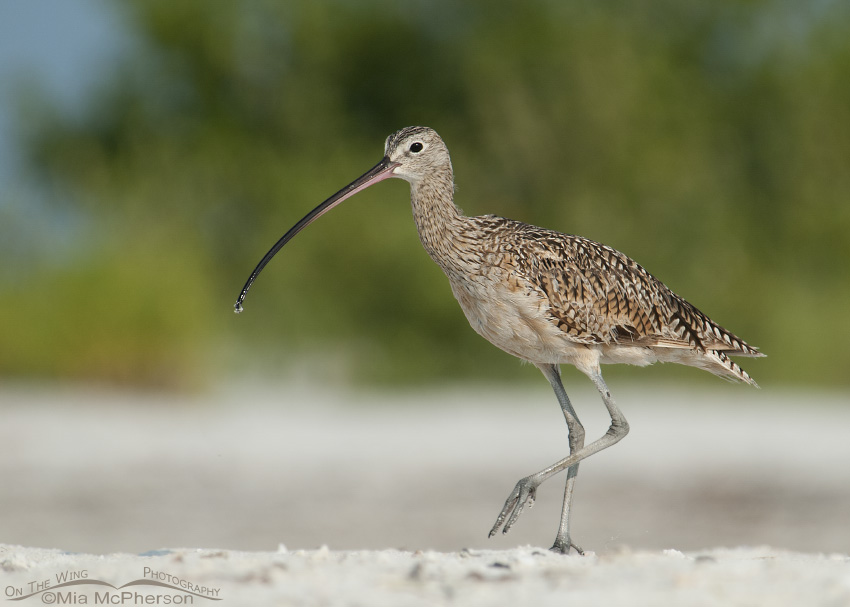 Long-billed Curlew on a sandy beach