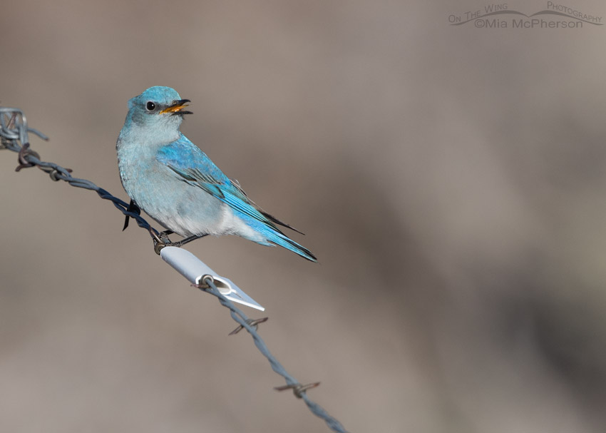 Male Mountain Bluebird and a flag on the fence to prevent Greater Sage-Grouse collisions