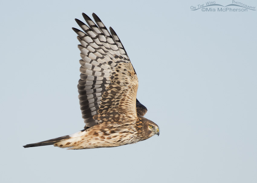 A female Northern Harrier in flight