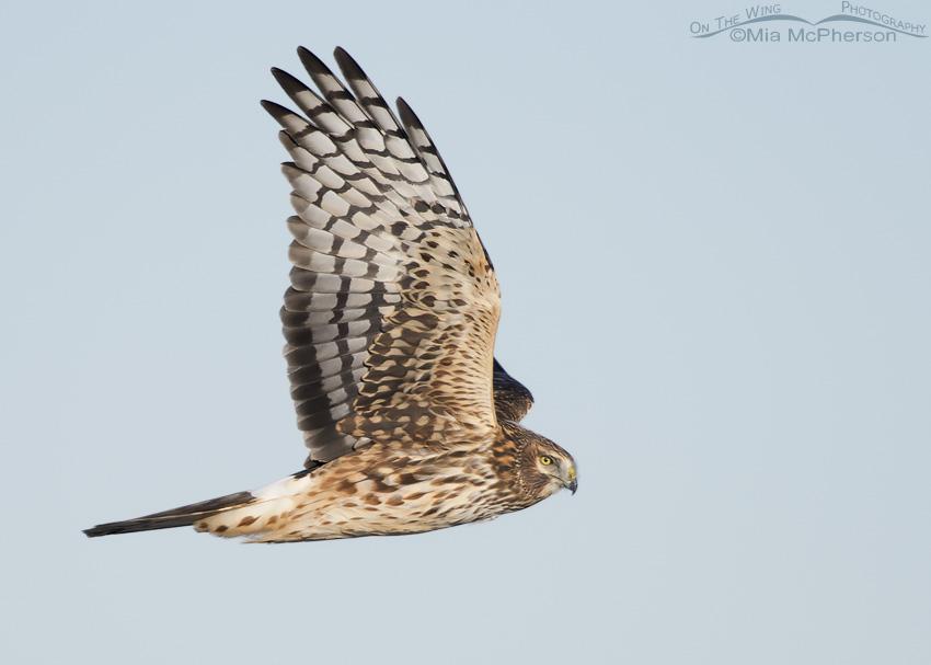 A female Northern Harrier in flight