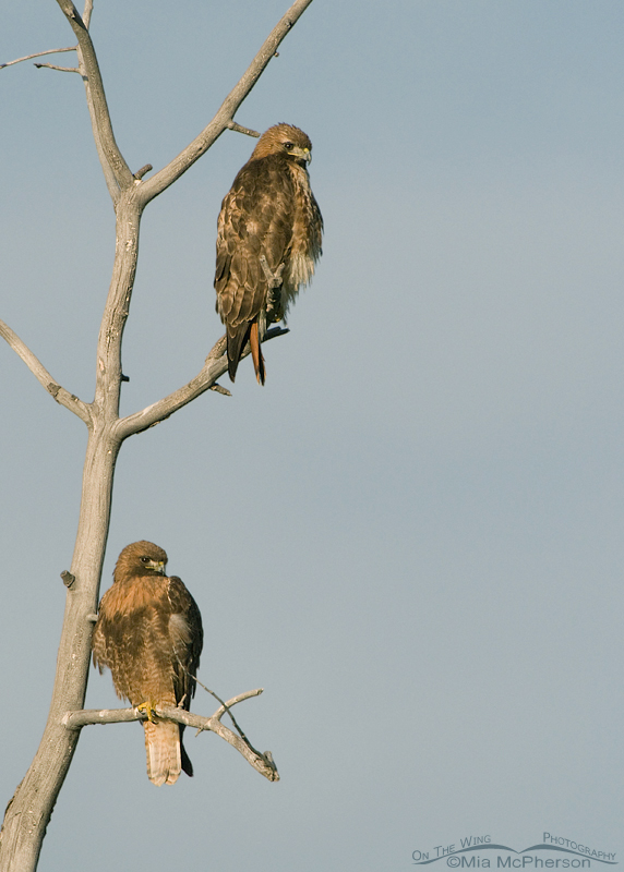 A pair of Red-tails basking in morning light