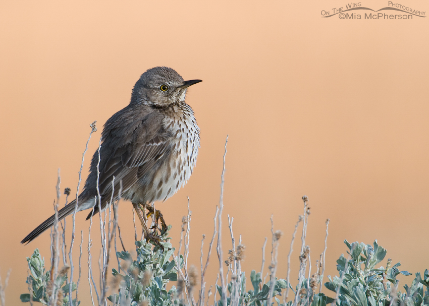 Sage Thrasher with a peachy background