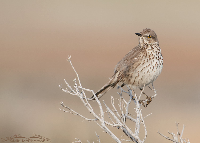 Sage Thrasher in golden light
