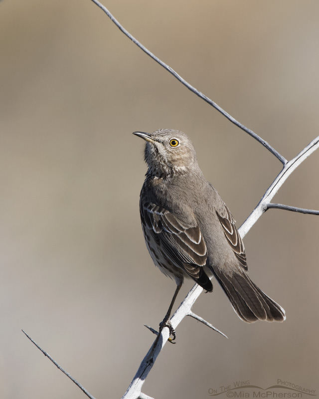 Early spring Sage Thrasher