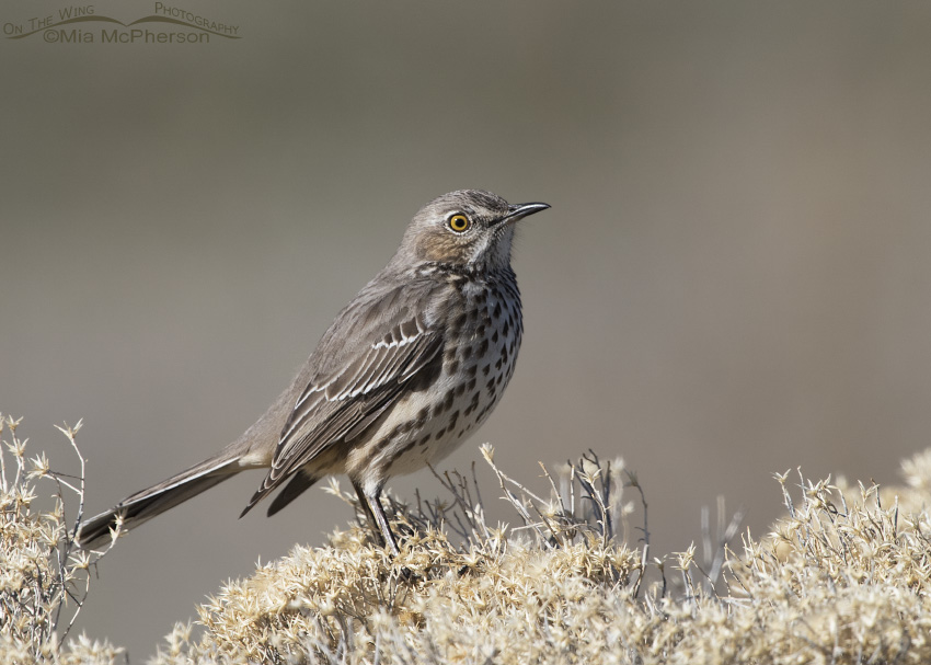Dried Rabbitbrush and a Sage Thrasher