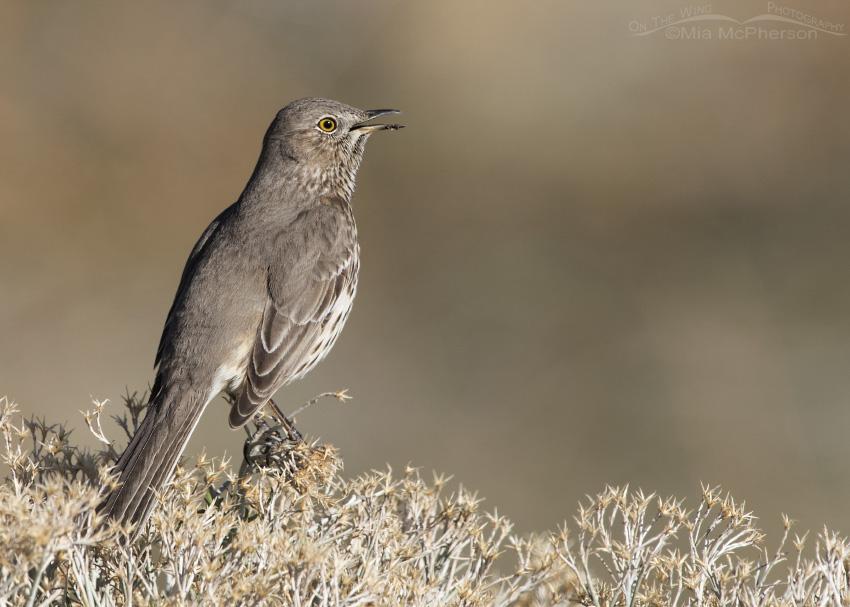 Antelope Island State Park Sage Thrasher