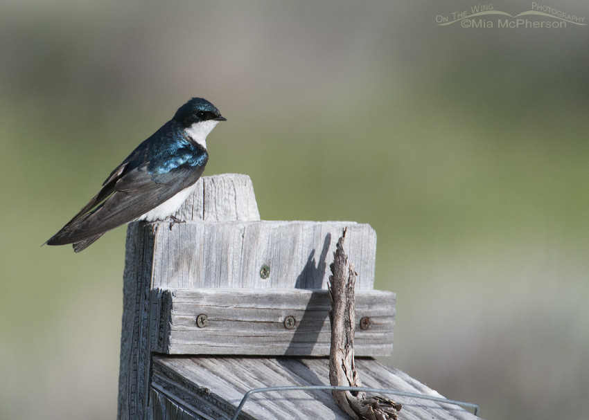 Tree Swallow at a Red Rock Lakes NWR nest box