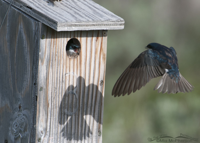Two Tree Swallows fighting over a nest box at Red Rock Lakes National Wildlife Refuge