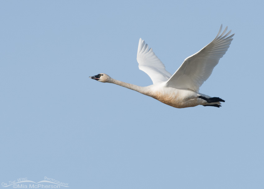 Adult Tundra Swan in flight