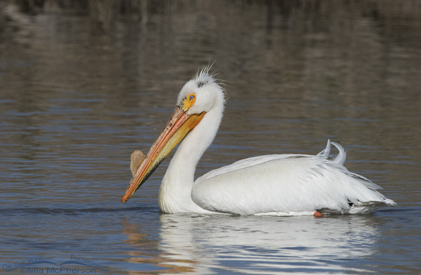 An American White Pelican at the Bear River Migratory Bird Refuge