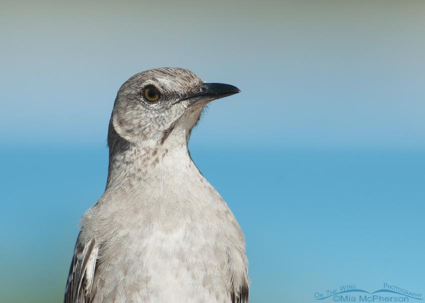 Bahama Mockingbird in the Bahamas