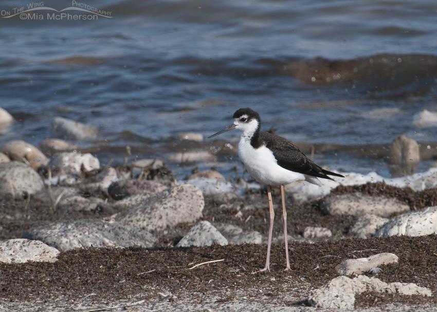 A Black-necked Stilt on the shoreline of the Great Salt Lake
