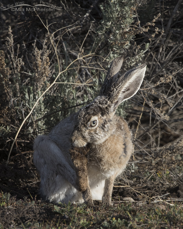 A Black-tailed Jackrabbit with odd colored eyes
