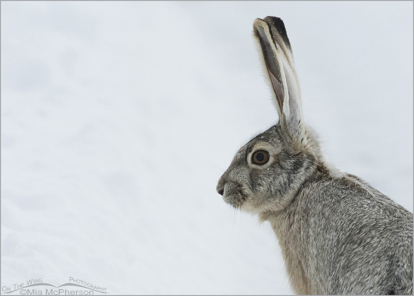 A Black-tailed Jackrabbit after a snow storm