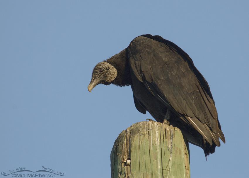 Mature Black Vulture on a pole