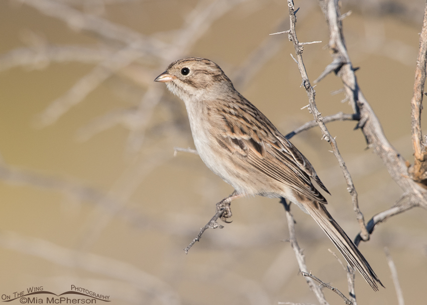Brewer's Sparrow during fall migration