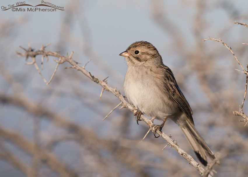 Brewer's Sparrow at White Rock Bay