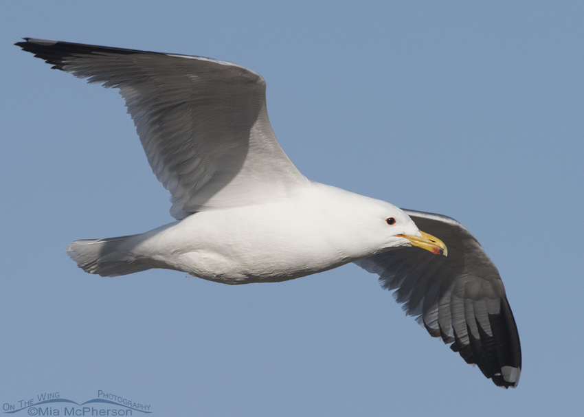 California Gull in flight on a clear April Morning