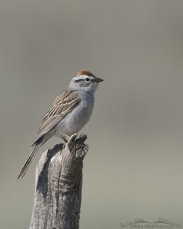 A Chipping Sparrow in breeding plumage