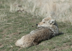 A Lazy Coyote