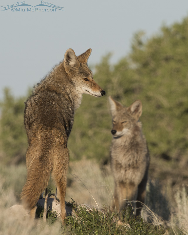 A Pair of Coyotes