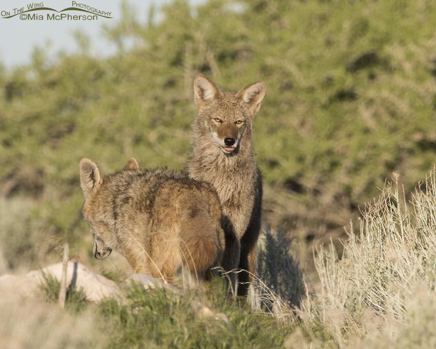 A Coyote Raspberry