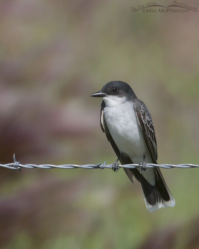 Eastern Kingbird on the road to Bear River Migratory Bird Refuge